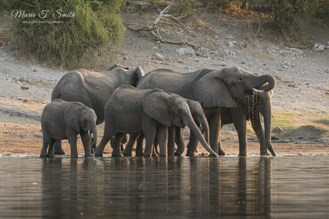 A herd of elephants drinking from the Chobe river captured by wildlife photographers