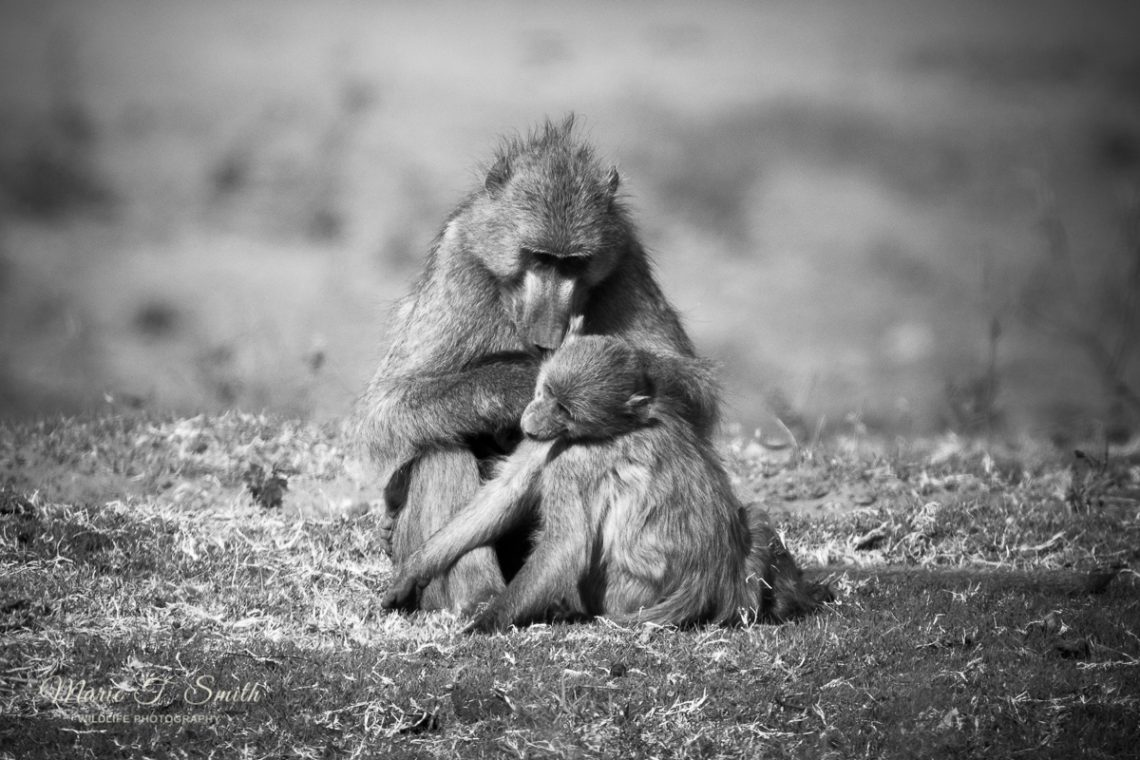 Baboon checking young for ticks and fleas