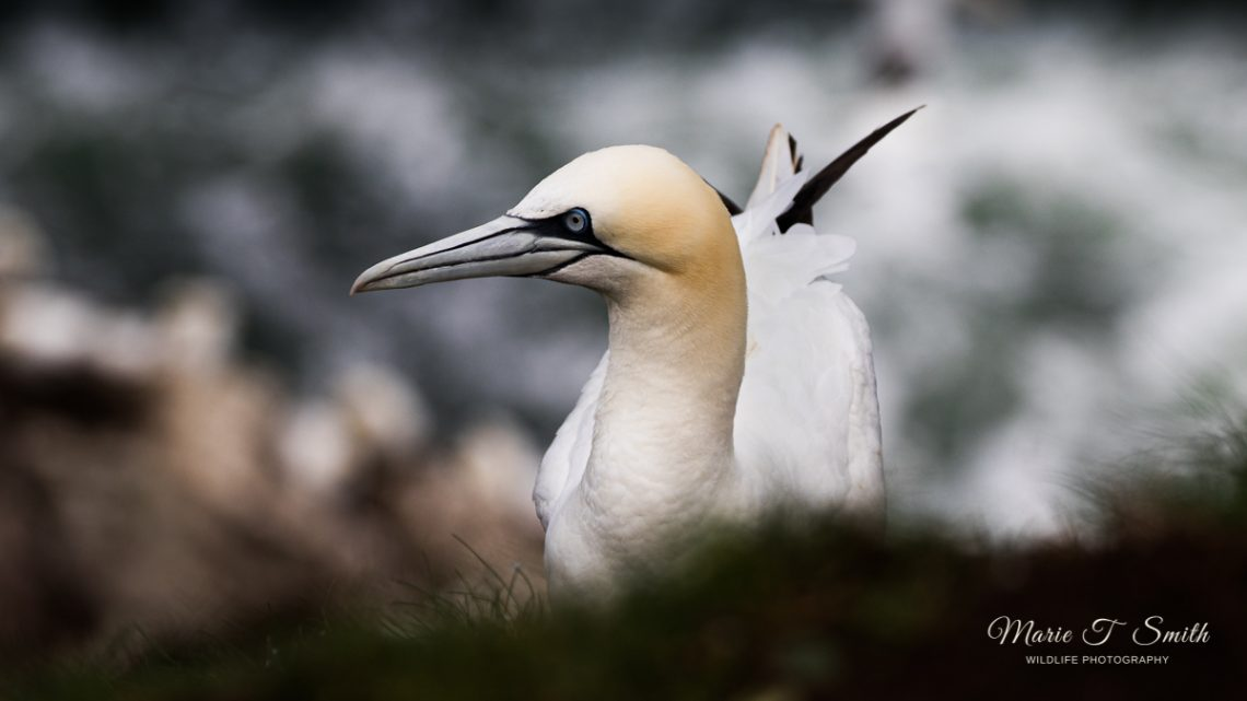 Gannet head and shoulders shot against a dark sea background