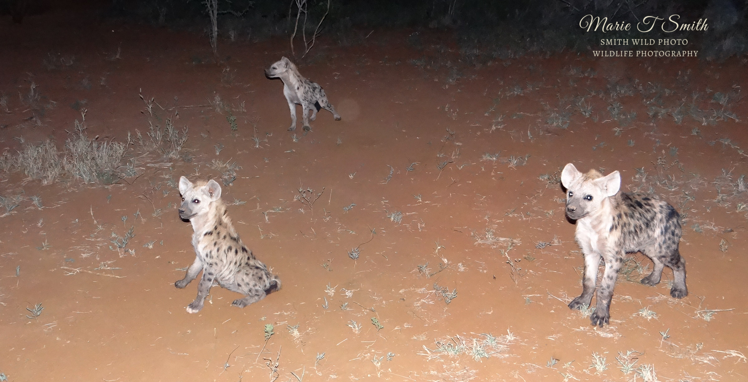 three hyena pups on a red sand background
