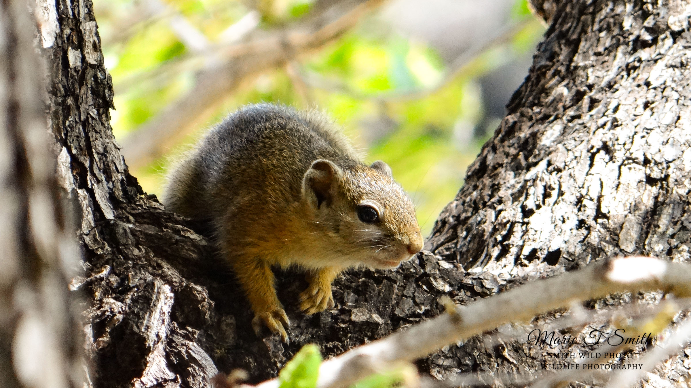 South African bush squirrel in a tree