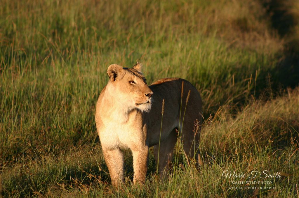 Lioness in grass at dawn
