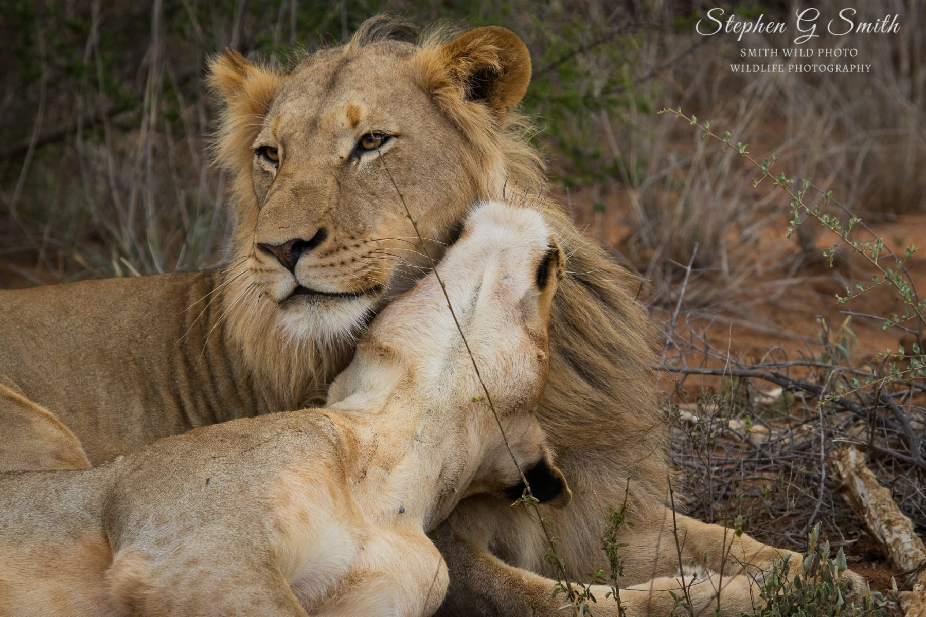 Lion and lioness being cute