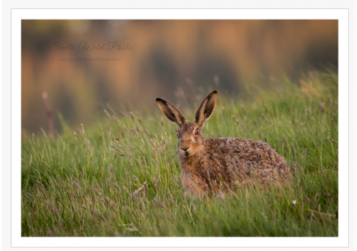a startled hare in a green field available as a greetings card