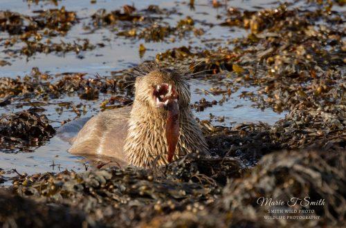 oter eating fish among seaweed
